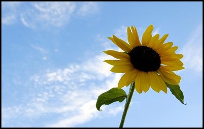 SummerSunflower1
